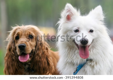 Purebred  Japanese Spitz dog and English Cocker Spaniel portrait  in outdoors - stock photo