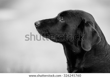 Purebred labrador retriever dog outdoors in the nature on grass meadow on a summer day.