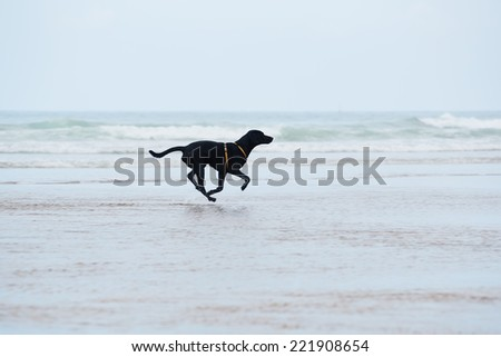 Purebred labrador retriever running with speed on wet sand, dog on the walk run along the beach touching waves, motion