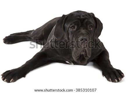 Purebred Mastiff neopolitano dog, seven months old, isolated on a white background
