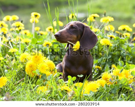 purebred miniature dachshund and dandelions - stock photo