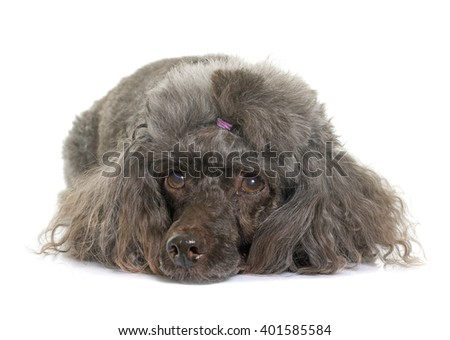 purebred poodle in front of white background