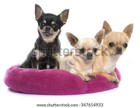 purebred puppies chihuahua in front of white background