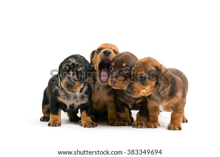 Purebred puppies dachshund on a white background