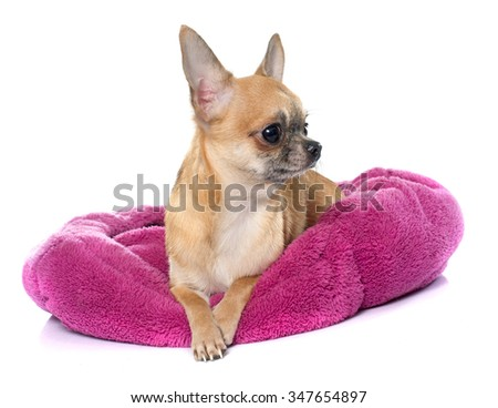 purebred puppy chihuahua in front of white background