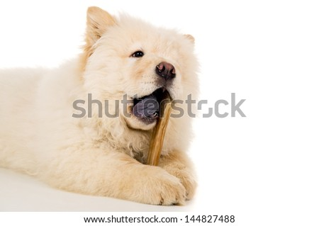 Purebred, puppy chow chow eats bone isolated - stock photo