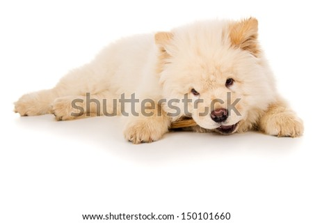 Purebred, puppy eats bone isolated - stock photo
