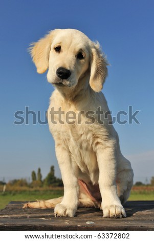 purebred puppy golden retriever on a table outdoors
