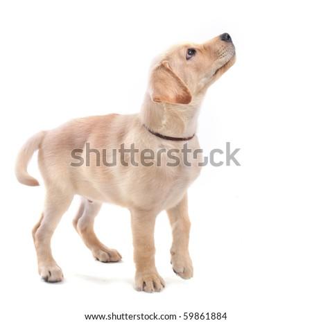 purebred puppy labrador retriever upright on a white background - stock photo