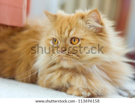 Purebred red persian cat resting - stock photo