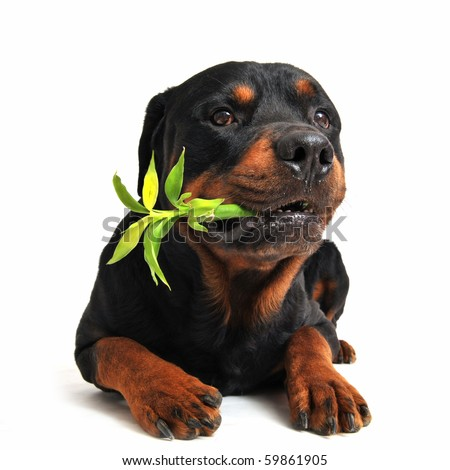 purebred rottweiler carrying a lucky bamboo on a white background
