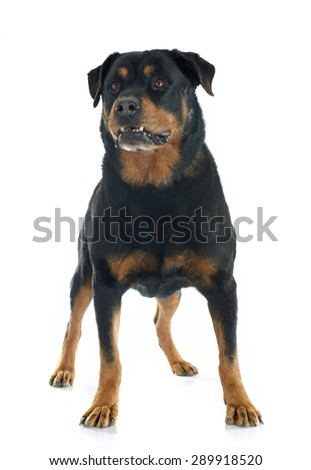 purebred rottweiler in front of white background - stock photo