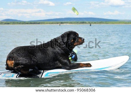 purebred rottweiler resting on a windsurf in the sea