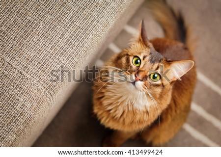 Purebred ruddy somali cat looking up staring at the camera. - stock photo