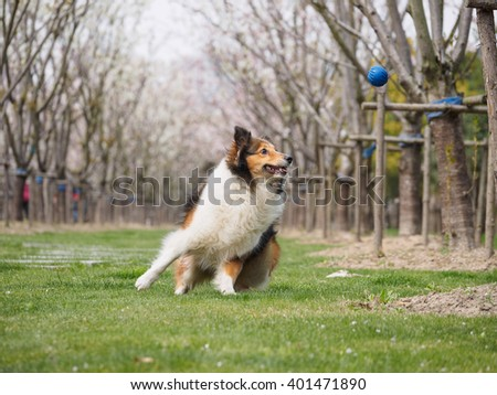 Purebred Shetland Sheepdog outdoors in the nature on grass meadow, the moment of catching ball - stock photo