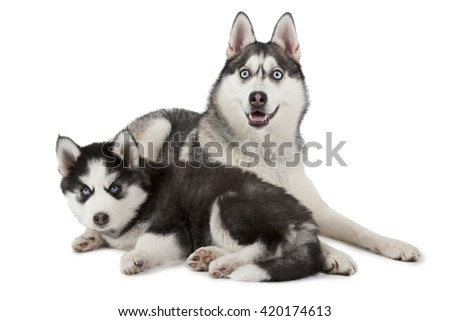 Purebred Siberian Husky dog with two months old puppy isolated on white background