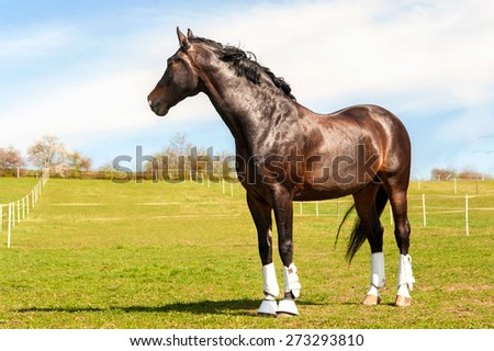 Purebred stallion in bandages standing on pasturage. Multicolored exterior image. Summertime outdoors. - stock photo