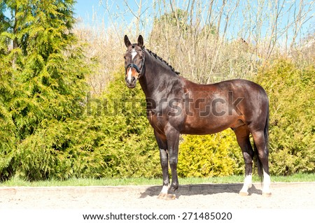 Purebred standing stallion. Exterior image with side view. Summertime outdoors. - stock photo