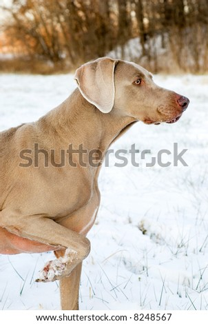 Purebred Weimaraner hunting and pointing - stock photo