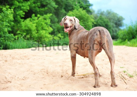 Purebred weimaraner playing with wooden stick. View from backside. Multicolored summertime outdoors image. - stock photo