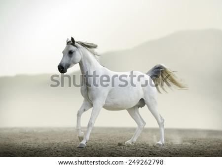 Purebred white arabian horse running in desert  - stock photo