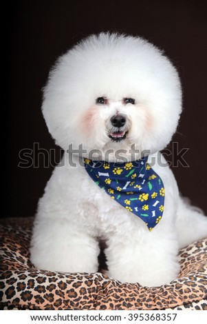 Purebred white Bichon Frise dog isolated  in studio.