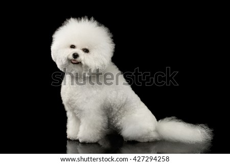 Purebred White Bichon Frise Dog Smiling, Sitting and Looking in Camera isolated Black Background, Side view - stock photo