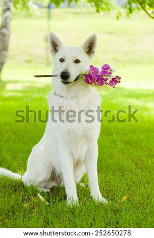 Purebred White Swiss Shepherd with a flower in its mouth - stock photo