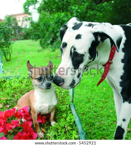 Purebreed chihuahua making friends with a purebreed great dane dog