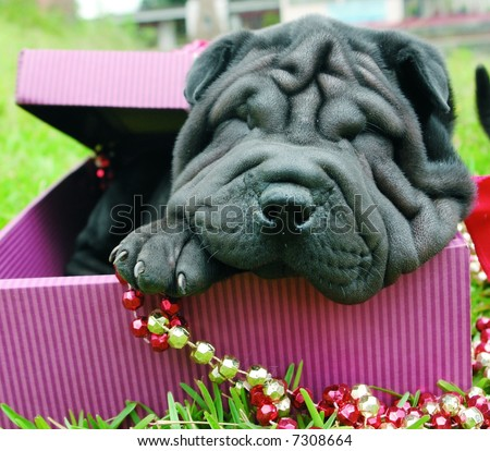 Purebreed shar pei puppy as a christmas present