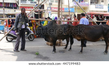PURI, INDIA - 29 MAY, 2016: Indian cows are standing at street.