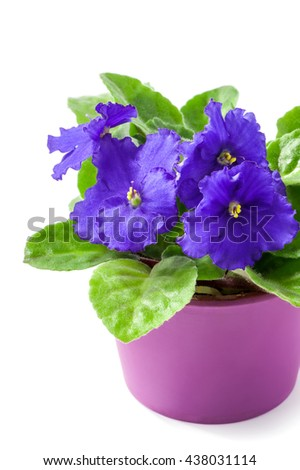 purple African Violet (Saintpaulia ionantha) in lilac pot close-up isolated on white background  - stock photo