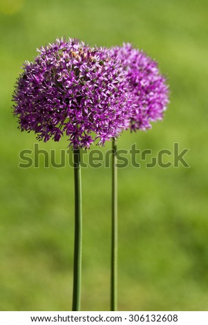 Purple alium onion flower close up shot - stock photo