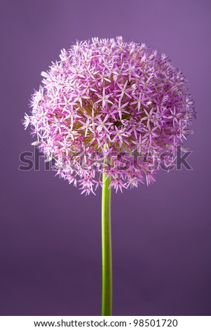 Purple alium onion flower, studio shot - stock photo