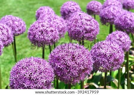 Azul & amp; Plantas perennes florales púrpuras | Vivero de las colinas de la naturaleza