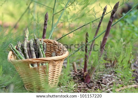 Purple and Green Asparagus in Garden