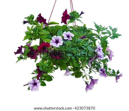 purple and lilac flowers of petunia in pot. isolated on white background - stock photo