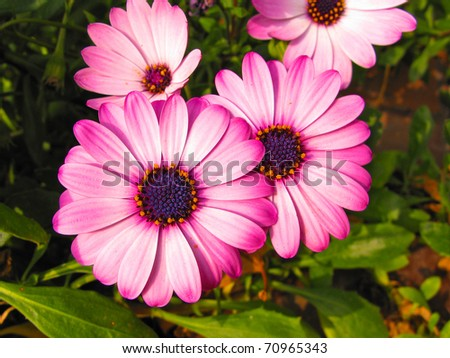 Purple and pink daisies close up background - stock photo