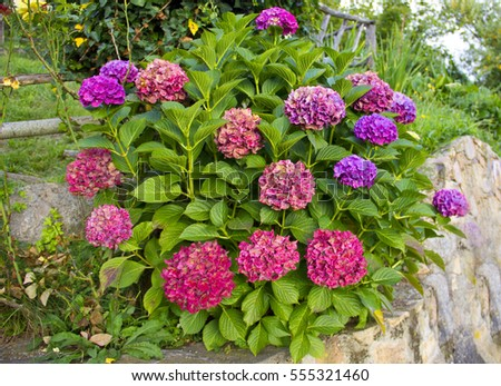 Purple and pink heads of hydrangea flowers