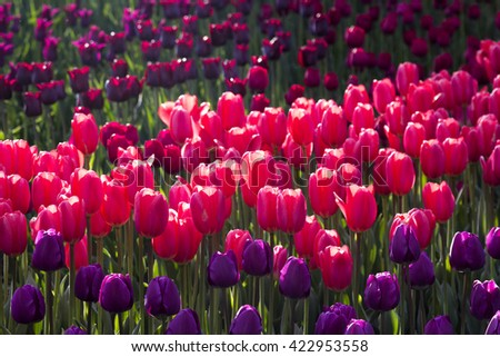 Purple and pink tulip flower field blooming. - stock photo