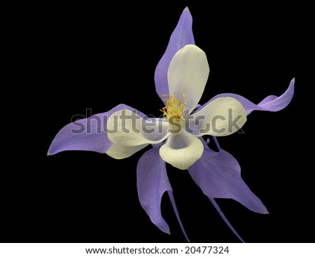 Purple and white columbine against black background - stock photo