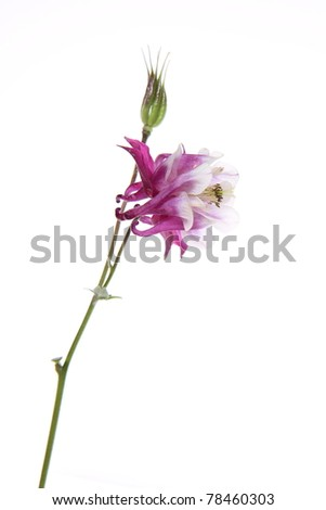 Purple and white Columbine flower on white background - stock photo