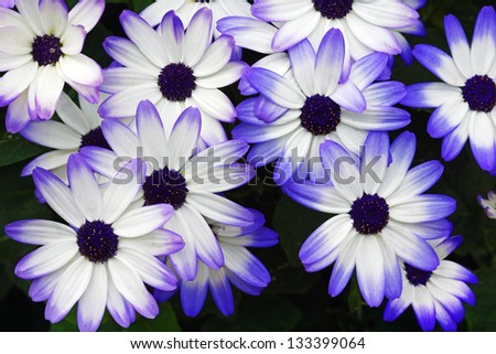 Purple and white daisies - stock photo