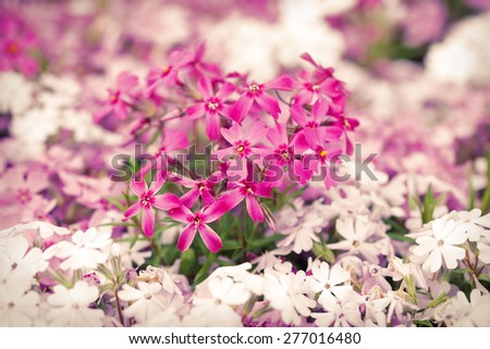 Purple and white flowers blooming in springtime season - stock photo