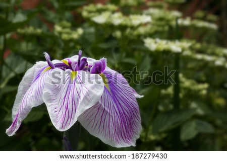 Purple and White Iris with a blurred green background - stock photo