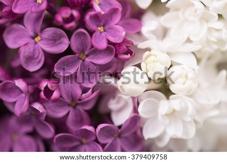 Purple and white lilac flower over green leaves background - stock photo