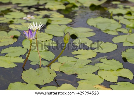 Purple and White lotus flower,Lotus flower waiting bloom on pond - stock photo