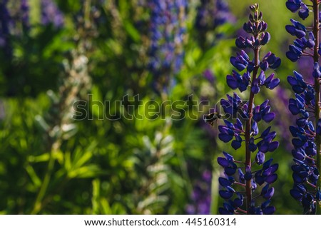 Purple and white lupine field close-up view. Selective focus flowers image with bumblebee flying. Blossoming lupine landscape in Belarus. Summer natural background with blossom flowers in bokeh. - stock photo