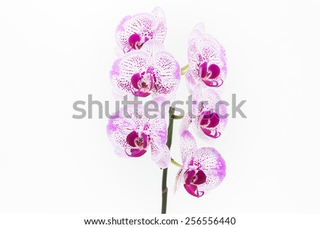 Purple and white Moth Orchids close up over white background - stock photo