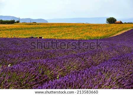 Purple and Yellow field